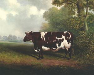 Prize Heifer by C.D. Lange
