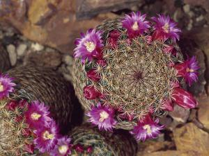 Close-Up of Thumb Cactus Flowers (Mammillaria Matudae) by C. Dani