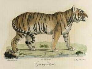 A Female Royal Tiger by C. de Last