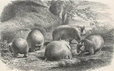 Phascolymus Latifrons Wombats in the Jardin d'Acclimatation in the Bois de Boulogne Paris