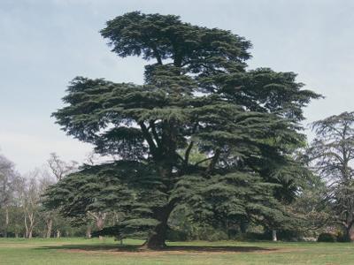 Cedar of Lebanon Tree on a Landscape (Cedrus Libani) by C. Sappa