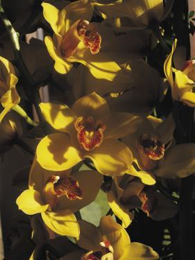Close-Up of Orchid Flowers by C. Sappa