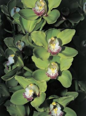 Flowers on a Cymbidium Plant by C. Sappa