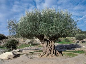 Olive Tree in the Forest (Olea Europaea) by C. Sappa