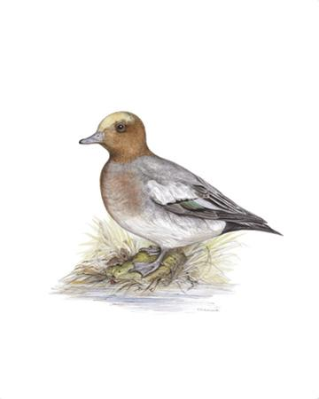 Wigeon (Male)