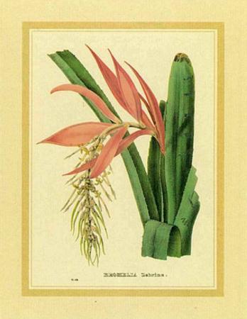 Bromelia Zebrina