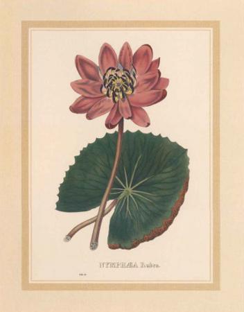 Nymphea Rubra