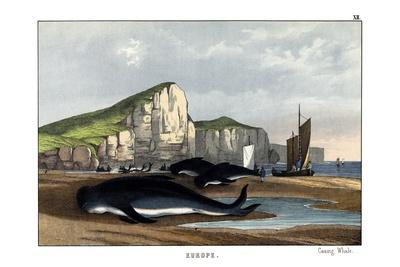 https://imgc.allpostersimages.com/img/posters/caa-ing-whale-1860_u-L-PVC3SB0.jpg?p=0