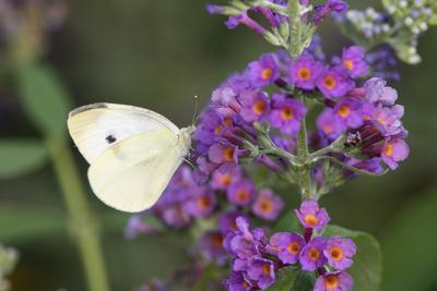 https://imgc.allpostersimages.com/img/posters/cabbage-white-on-butterfly-bush-illinois_u-L-Q1D0OOQ0.jpg?artPerspective=n