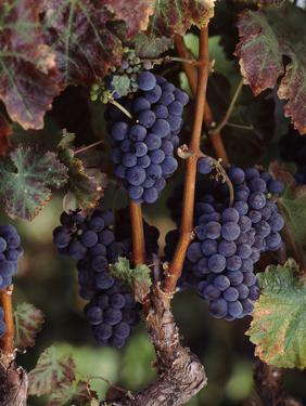 Cabernet Sauvignon Grapes in Vineyard, Wine Country, California, USA