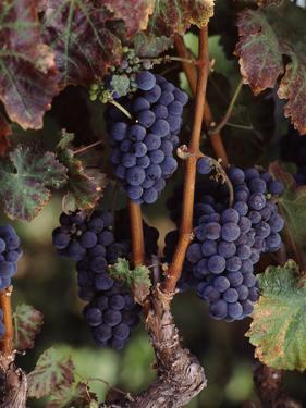 Cabernet Sauvignon Grapes in Vineyard, Wine Country, California, USA