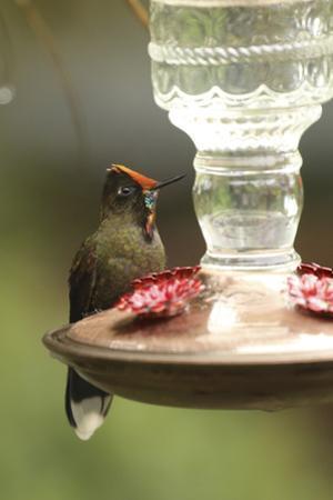 A rainbow-bearded thornbill hummingbird, Chalcostigma herrani, at a bird feeder. by Cagan H. Sekercioglu