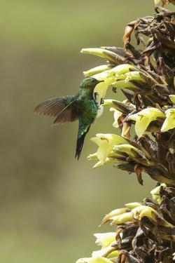 Glowing puffleg hummingbird, Eriocnemis vestita, drinks nectar from an Espeletia plant. by Cagan H. Sekercioglu