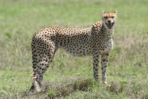 A Cheetah, Acinonyx Jubatus, Growling by Cagan Sekercioglu