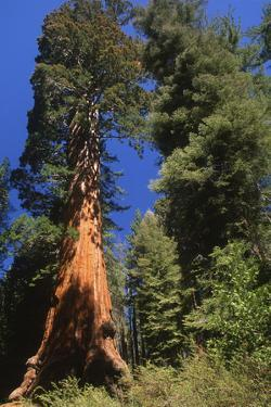 A Giant Sequoia Tree in Sequoia National Park by Cagan Sekercioglu