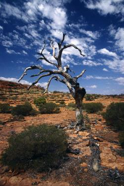 A Gnarled Dead Tree Near Ayers Rock by Cagan Sekercioglu