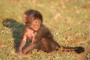 An Infant Gelada Baboon, Theropithecus Gelada, Sits in the Grass by Cagan Sekercioglu