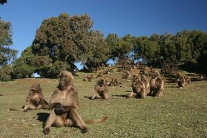 Gelada Baboons, Theropithecus Gelada, on a Hill Side by Cagan Sekercioglu