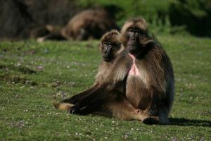 Gelada Baboons, Theropithecus Gelada, Resting by Cagan Sekercioglu