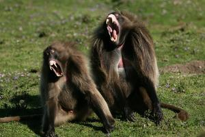 Gelada Baboons, Theropithecus Gelada by Cagan Sekercioglu