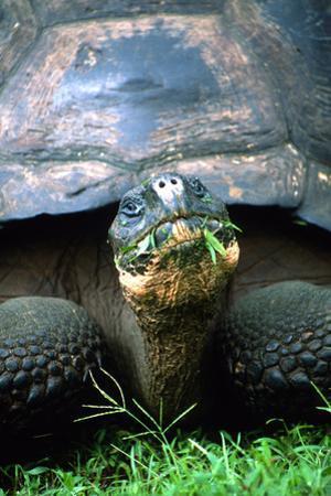 Portrait of a Giant Galapagos Tortoise, Chelonoidis Nigra, Eating by Cagan Sekercioglu