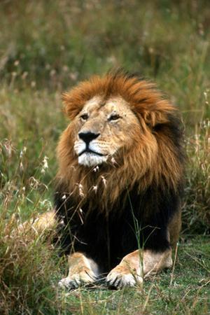 Portrait of a Male Lion, Panthera Leo