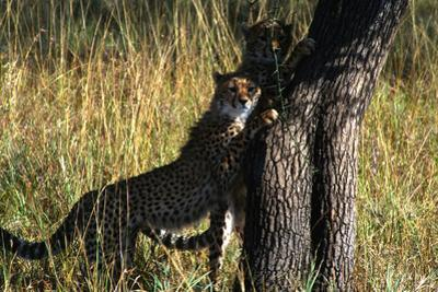 Young Cheetah Twins, Acinonyx Jubatus, Scratching on a Tree Trunk