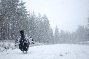 Capercaillie (Tetrao Urogallus) Male Displaying in Heavy Snowfall, Cairngorms Np, Scotland by Cairns