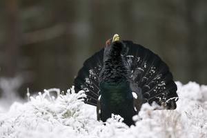 Capercaillie (Tetrao Urogallus) Male Displaying in Snow, Strathspey, Cairngorms Np, Scotland by Cairns