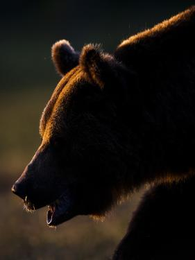 European Brown Bear (Ursos Arctos) Backlit by Sun, Kuhmo, Finland, July 2009 Wwe Book by Cairns