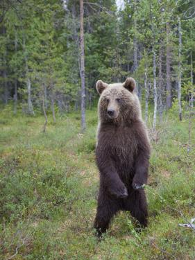 European Brown Bear (Ursos Arctos) Standing on Rear Legs, Kuhmo, Finland, July 2009 by Cairns