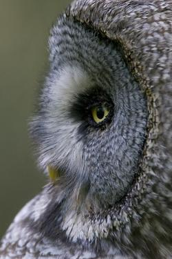 Great Grey Owl (Strix Nebulosa) Close-Up of Head, Northern Oulu, Finland, June 2008 by Cairns