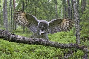 Great Grey Owl (Strix Nebulosa) Landing on Branch, Oulu, Finland, June 2008 by Cairns