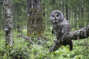 Great Grey Owl (Strix Nebulosa) Perched in Forest, Oulu, Finland. June 2008 by Cairns