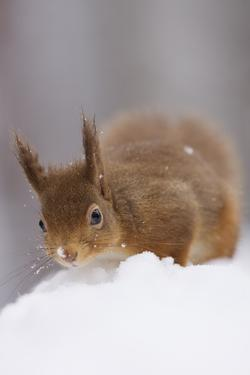 Red Squirrel (Sciurus Vulgaris) Foraging in Snow, Glenfeshie, Cairngorms Np, Scotland, February by Cairns