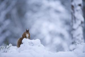 Red Squirrel (Sciurus Vulgaris) in Snow, Glenfeshie, Cairngorms Np, Scotland, February 2009 by Cairns