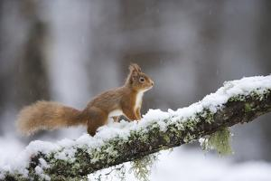 Red Squirrel (Sciurus Vulgaris) on Branch in Snow, Glenfeshie, Cairngorms National Park, Scotland by Cairns