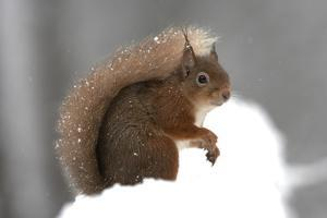 Red Squirrel (Sciurus Vulgaris) Portrait, in Snow, Cairngorms National Park, Scotland, March 2007 by Cairns