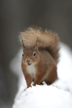 Red Squirrel (Sciurus Vulgaris) Portrait in Snow, Cairngorms National Park, Scotland, March 2007 by Cairns