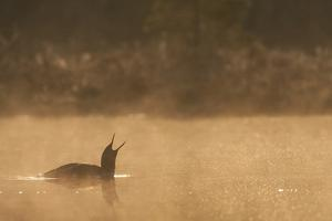 Red Throated Diver (Gavia Stellata) Calling at Dawn on Mist-Laden Lake, Bergslagen, Sweden, April by Cairns