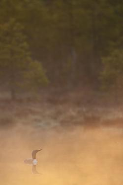 Red Throated Diver (Gavia Stellata) on Lake in Mist at Dawn, Bergslagen, Sweden, April 2009 by Cairns