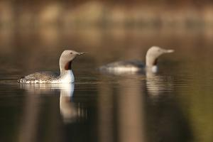 Red Throated Divers (Gavia Stellata) on Lake at Dawn, Bergslagen, Sweden, April 2009 by Cairns