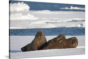 Three Walrus (Odobenus Rosmarus) Resting on Sea Ice, Svalbard, Norway, August 2009 by Cairns