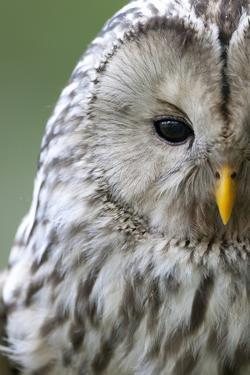 Ural Owl (Strix Uralensis) Close-Up Portrait, Bergslagen, Sweden, June 2009 by Cairns