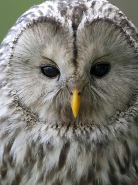 Ural Owl (Strix Uralensis) Portrait, Bergslagen, Sweden, June 2009 by Cairns