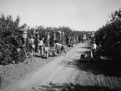 https://imgc.allpostersimages.com/img/posters/california-citrus-heritage-recording-project-workers-harvesting-oranges-riverside-county-1930_u-L-P6V0KQ0.jpg?p=0