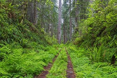 https://imgc.allpostersimages.com/img/posters/california-del-norte-coast-redwoods-state-park-damnation-creek-trail-and-redwood-trees_u-L-Q1CZVC50.jpg?p=0
