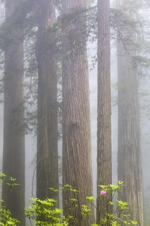 https://imgc.allpostersimages.com/img/posters/california-del-norte-coast-redwoods-state-park-redwood-trees-with-rhododendrons_u-L-Q1D09L20.jpg?p=0