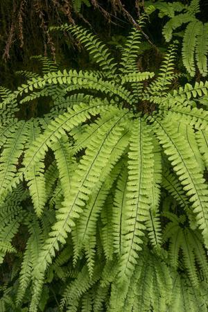 https://imgc.allpostersimages.com/img/posters/california-five-finger-fern-western-maidenhair-fern-redwood-national-and-state-park_u-L-Q13BMX70.jpg?p=0