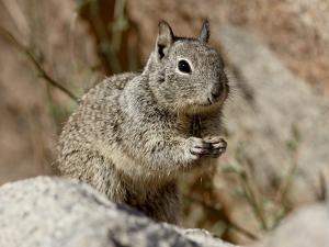 California Ground Squirrel (Citellus Beecheyi), Joshua Tree National Park, California, USA